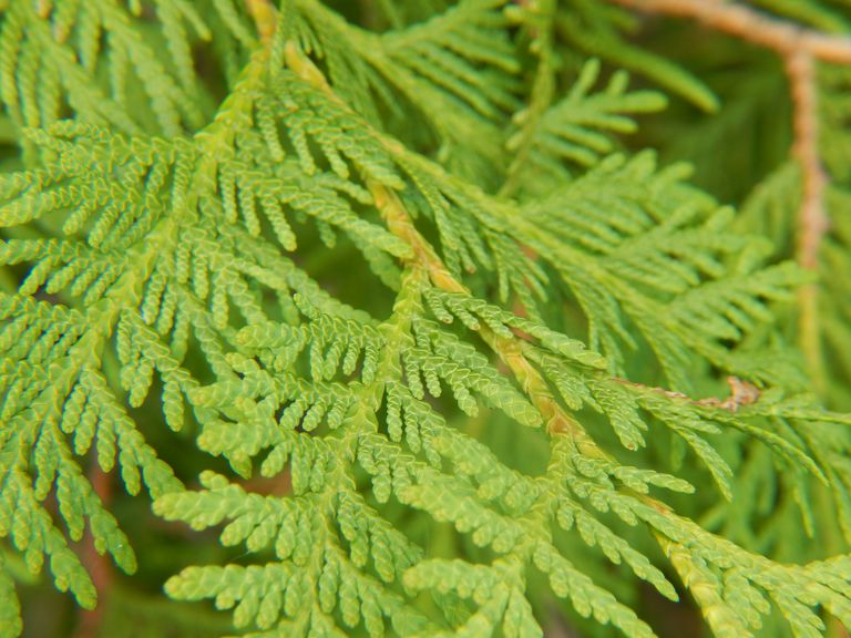 White Cedar Leaves