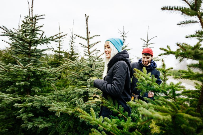 Christmas Tree Types.The Eastern Red Cedar And Other Popular Christmas Trees
