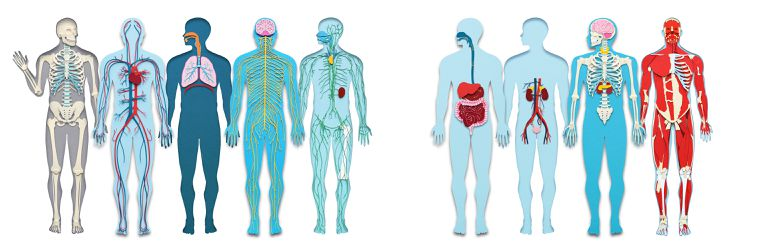 Illustrations of the human body systems