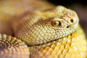 An albino western diamondback rattlesnake