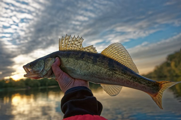 Walleye in fisherman's hand, HDR toned
