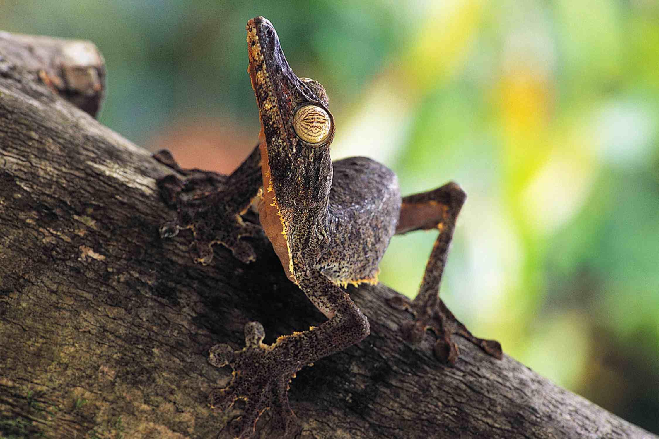 Frilled leaf-tail gecko - Uroplatus fimbriatus