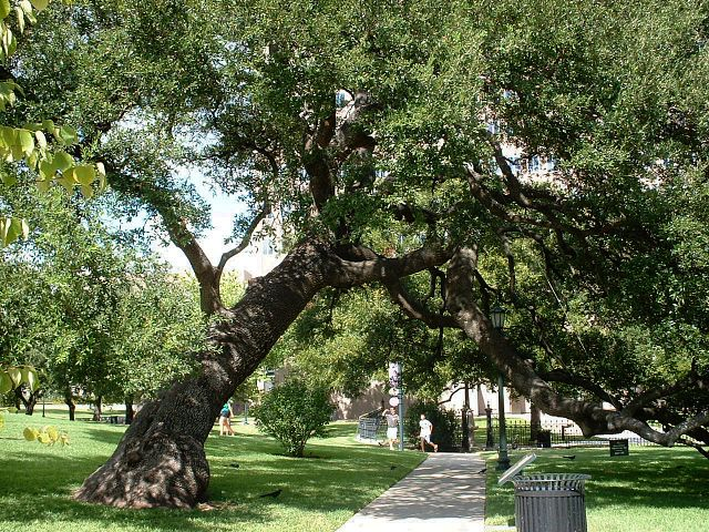 Live Oak on Texas Capitol Grounds