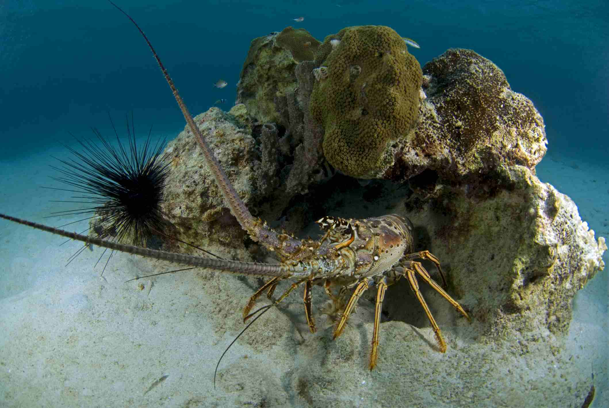 Spiny Lobster / Nature/UIG / Universal Images Group / Getty Images