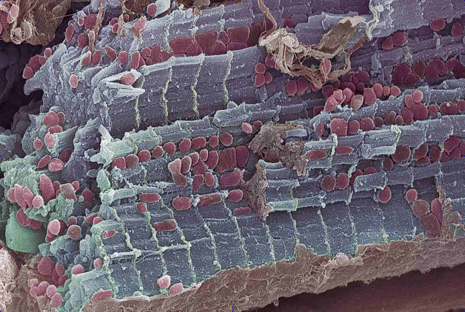 Cardiac muscle close up view.
