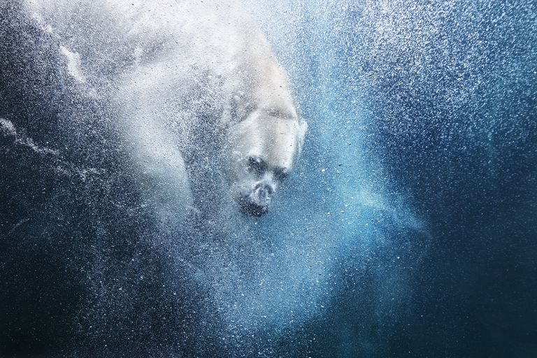 underwater photo of a polar bear diving into water