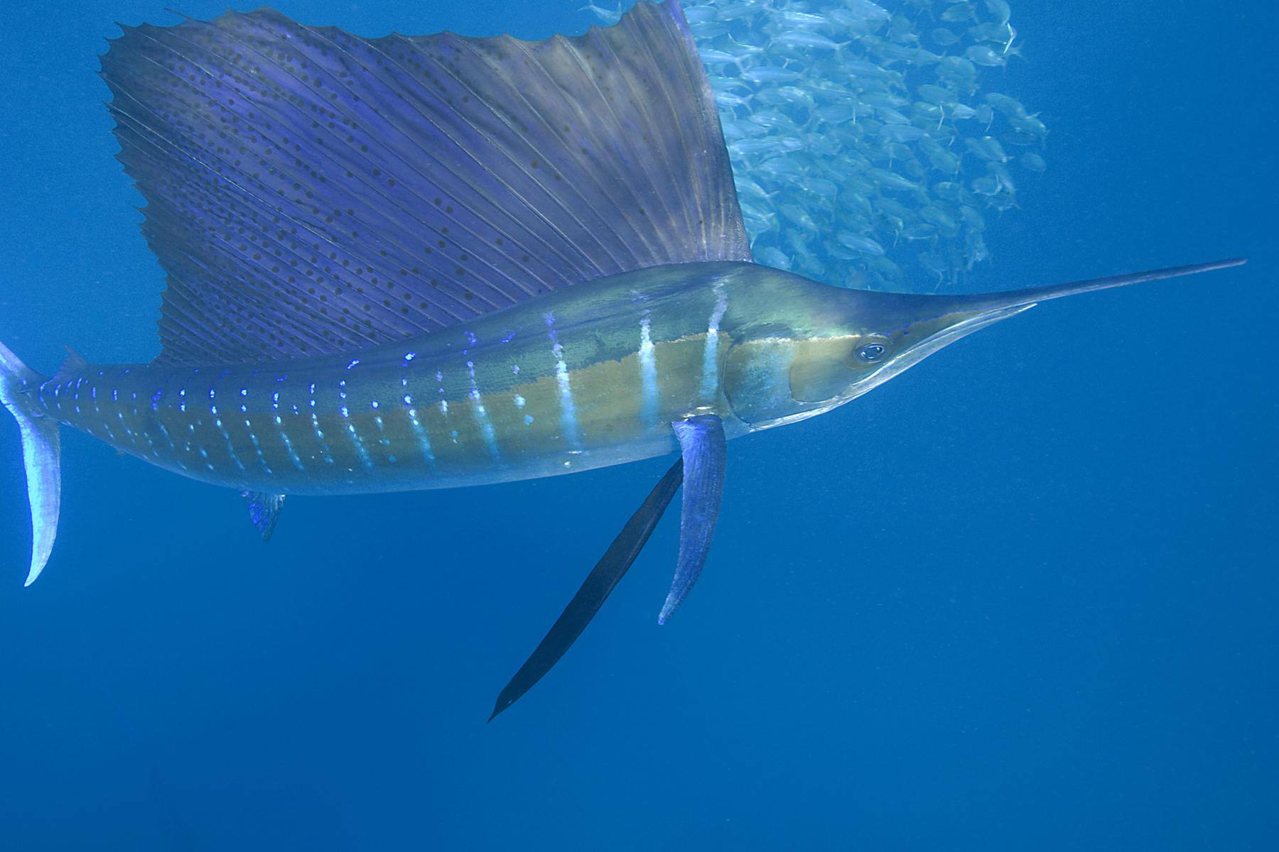 An Atlantic sailfish mugs for the camera in Mexico