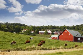 Old red farms and grazing cattle