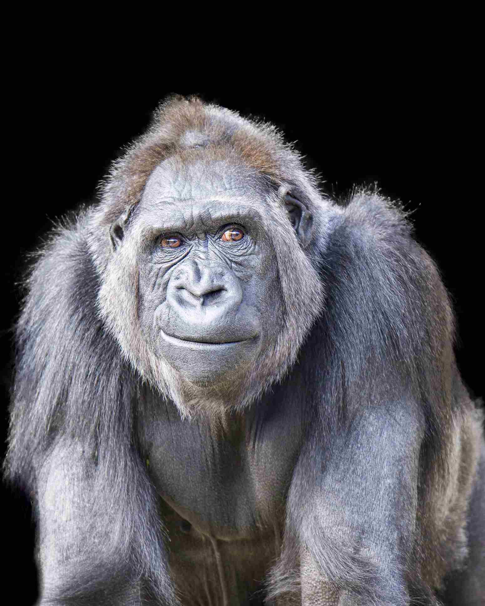 gorilla looking towards its left