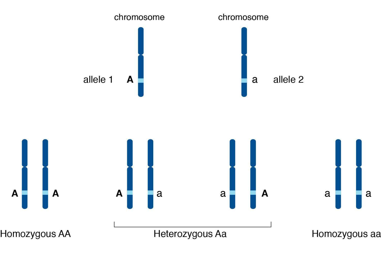 allele a genetics definition