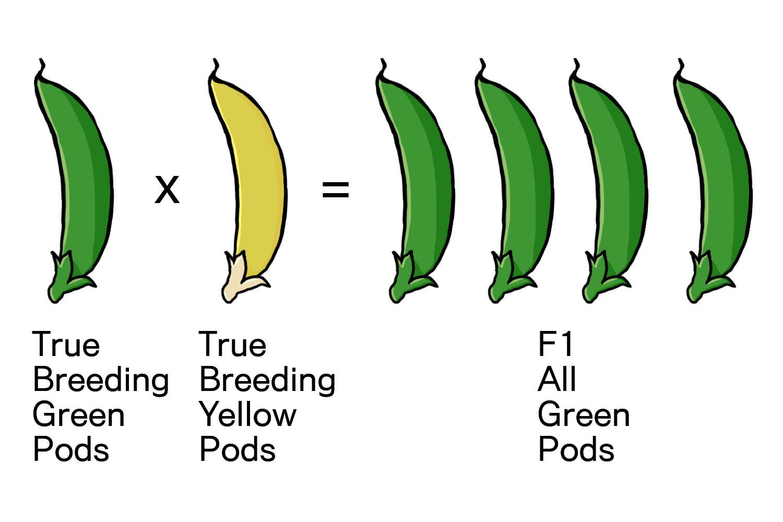 Cross pollination of peas diagram