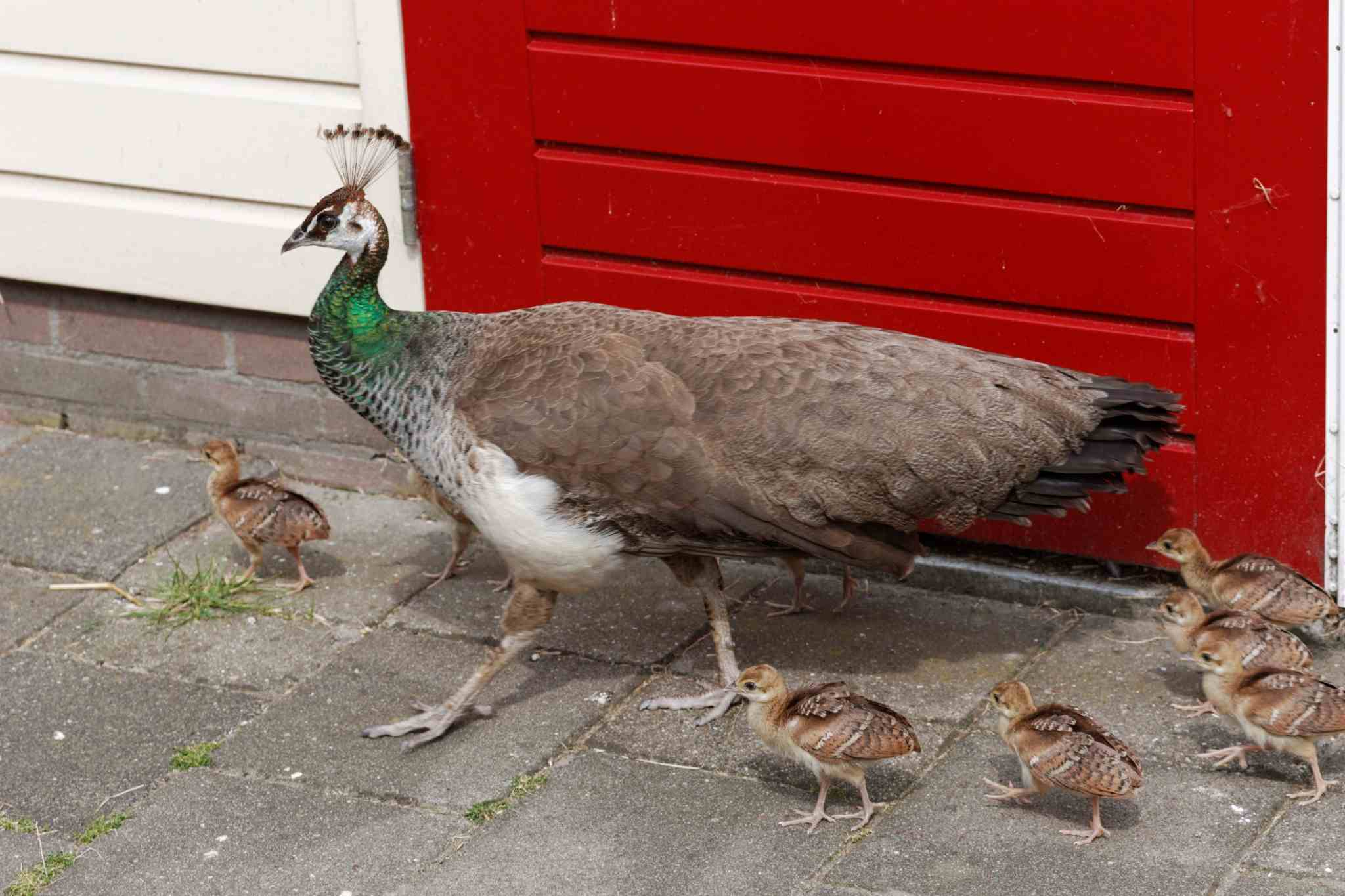 Green peahen with chicks