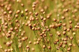 Close up of flax growing.