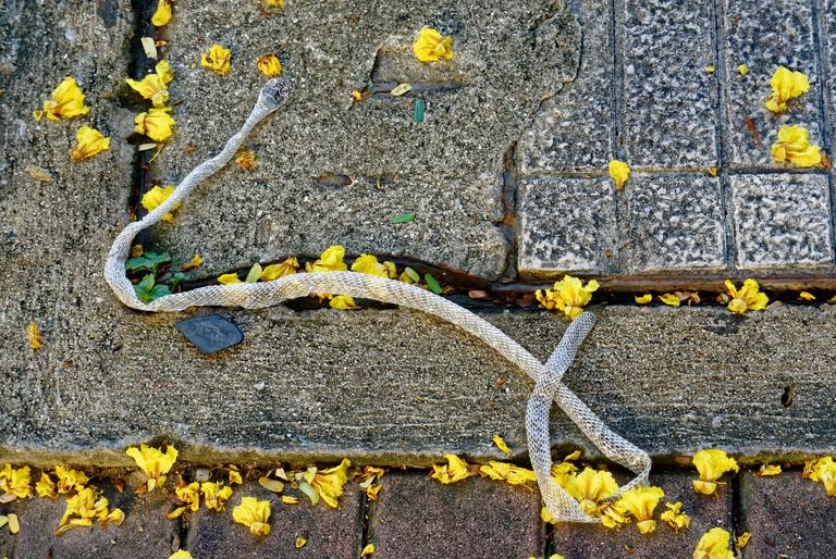 High Angle View Of Dry Snakeskin And Yellow Flowers On Footpath