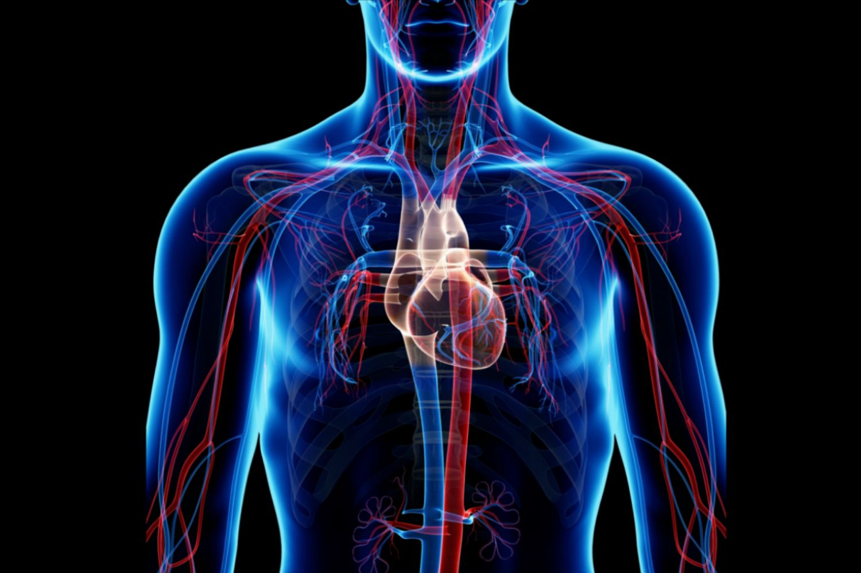 Circulatory System: Pulmonary and Systemic Circuits