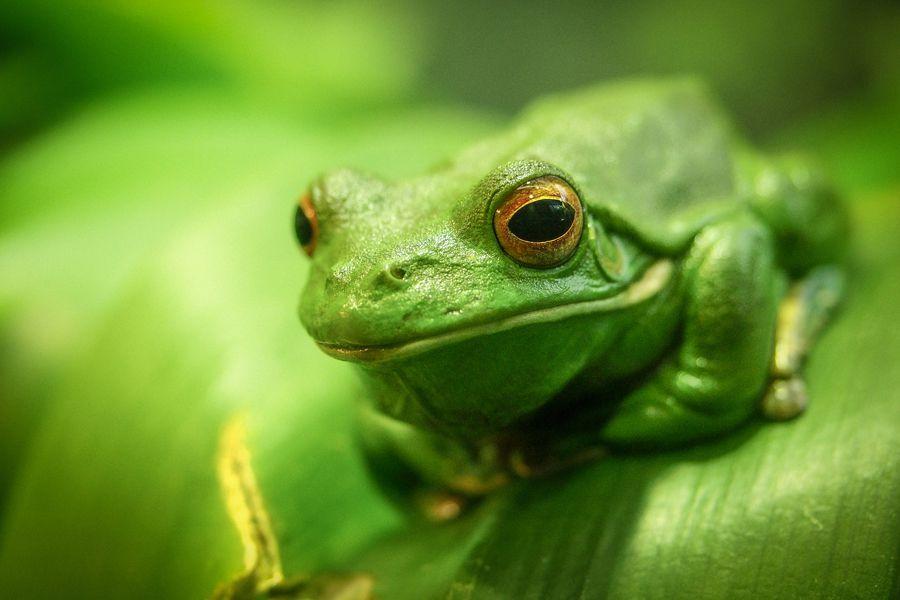 Green tree frog (Litoria caerulea) on leaf.