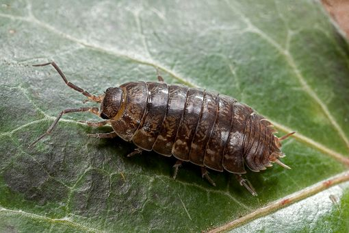 Woodlouse (pill bug, roly-poly)
