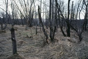 Large stand of trees killed by acid rain under a gray sky.