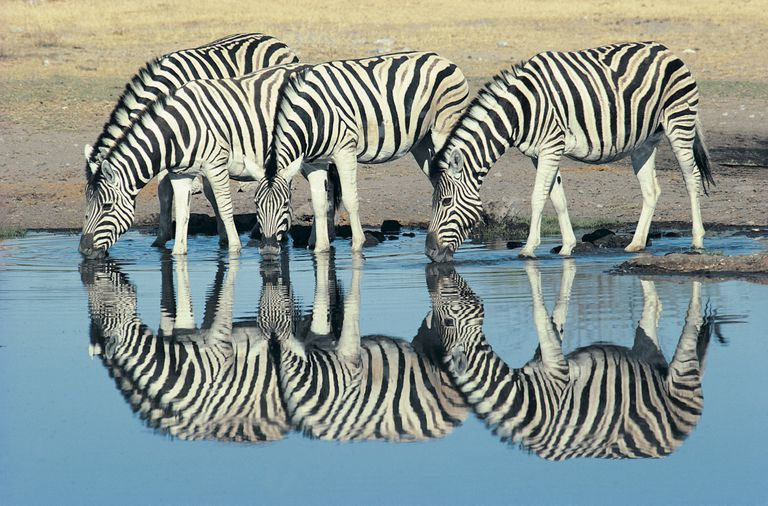 Zebras drinking from a waterhole in Namibia