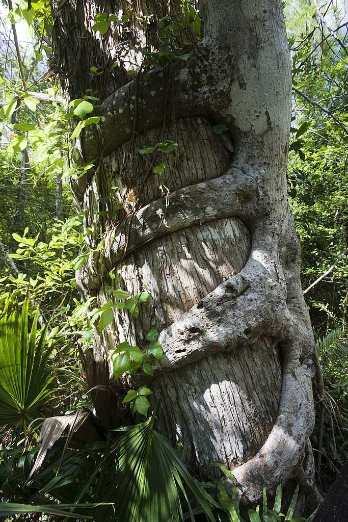 Strangler Fig Florida Everglades