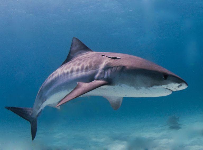 cookie cutter shark food chain
