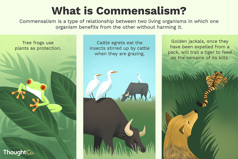 Commensalism is a type of relationship between two living organisms in which one organism benefits from the other without harming it