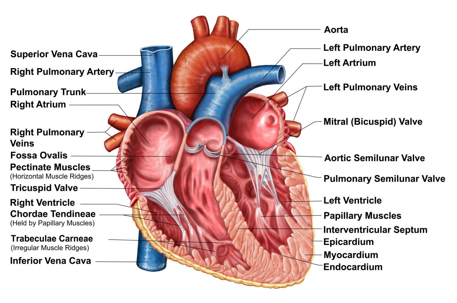 Heart wall epicardium myocardium and endocardium ccuart Image collections
