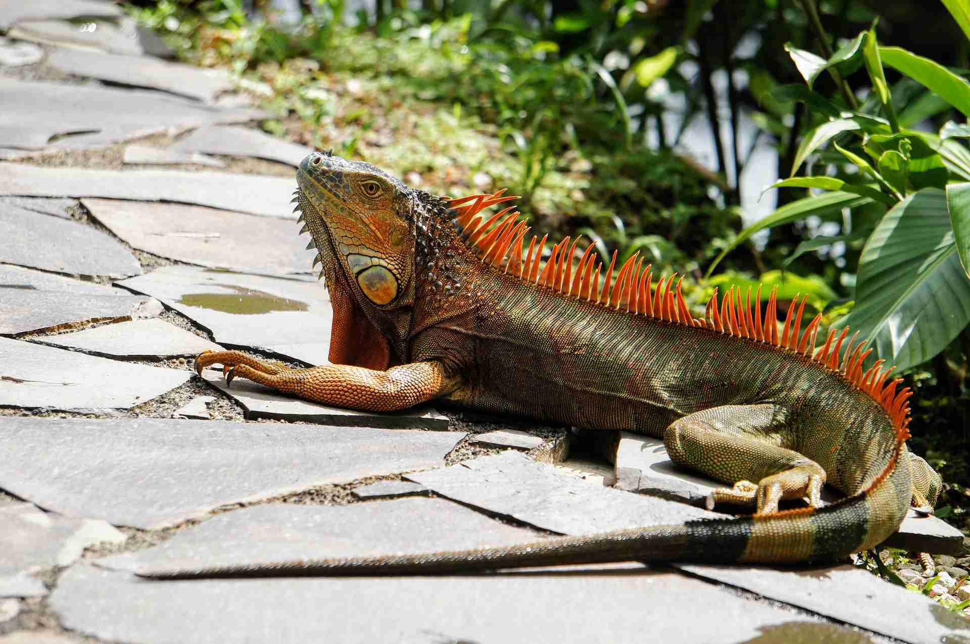 Colorful iguana sitting on rocks.