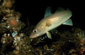 Cod, Gadus morhua, Atlantic ocean