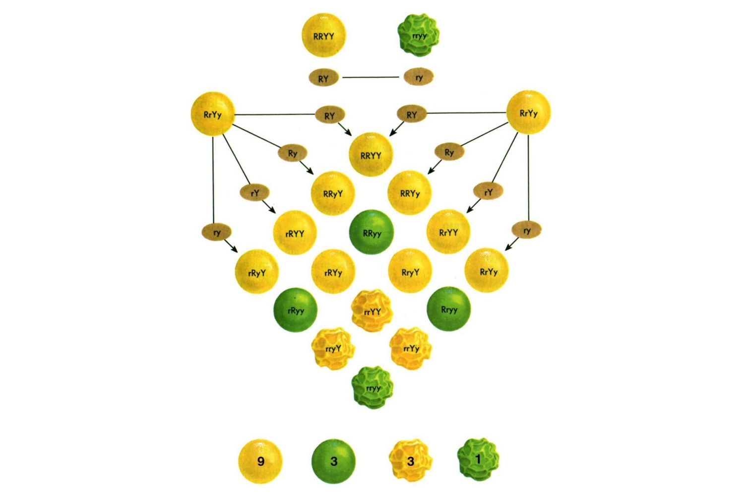This image shows results of the self-fertilization of F1 plants resulting from the dihybrid cross of a true-breeding plant with round, yellow seeds and a true-breeding plant with wrinkled, green seeds.