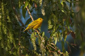 yellow bird in a willow tree