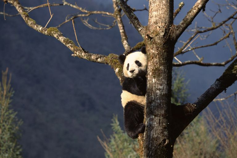 Picture of a giant panda, an example of an endangered species.