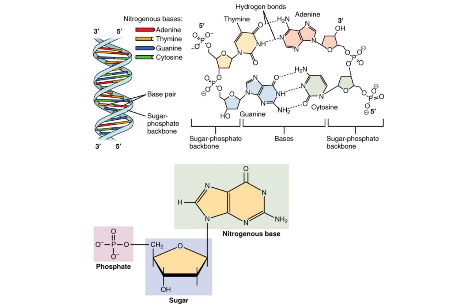 Nucleic Acids Function Examples And Monomers