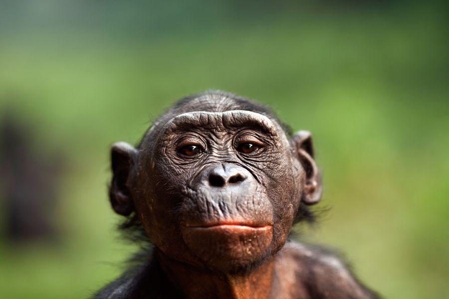 headshot of a bonobo