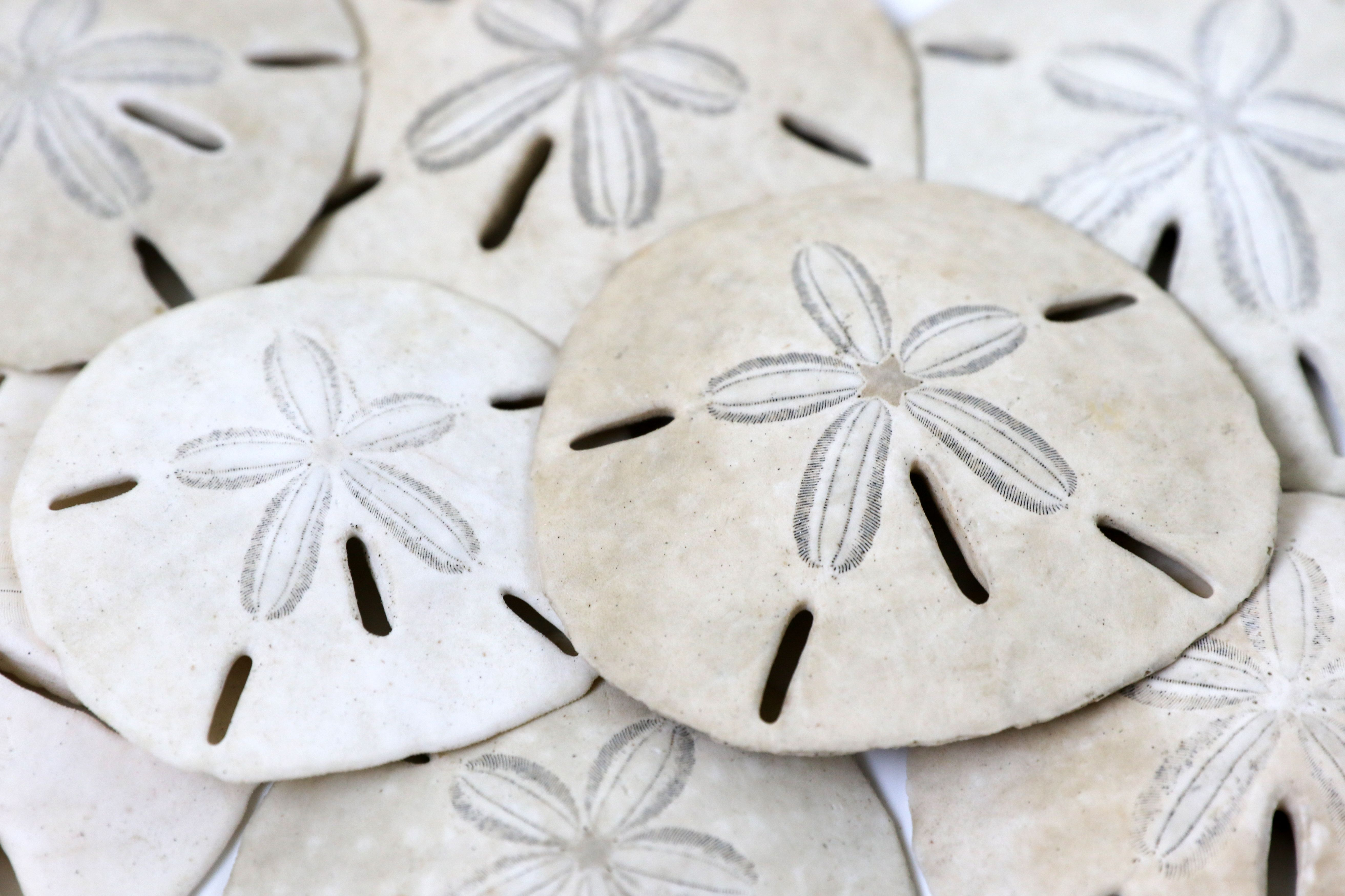 Close up of pile of sanddollars