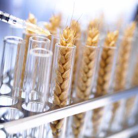 Genetically modified wheat in tube