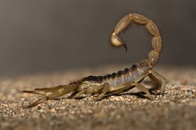 Close up view of a scorpion sitting on the dirt in profile.