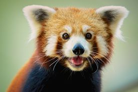 The red panda is more closely related to raccoons than to giant pandas.