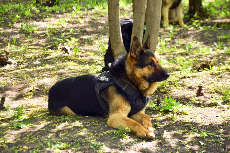 A police dog awaiting orders