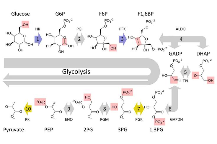 10 steps of glycolysis cellular respiration ccuart Image collections