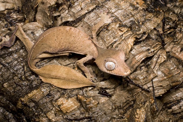Close-up photo of satanic leaf-tailed gecko.