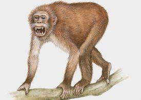 Propliopithecus illustration
