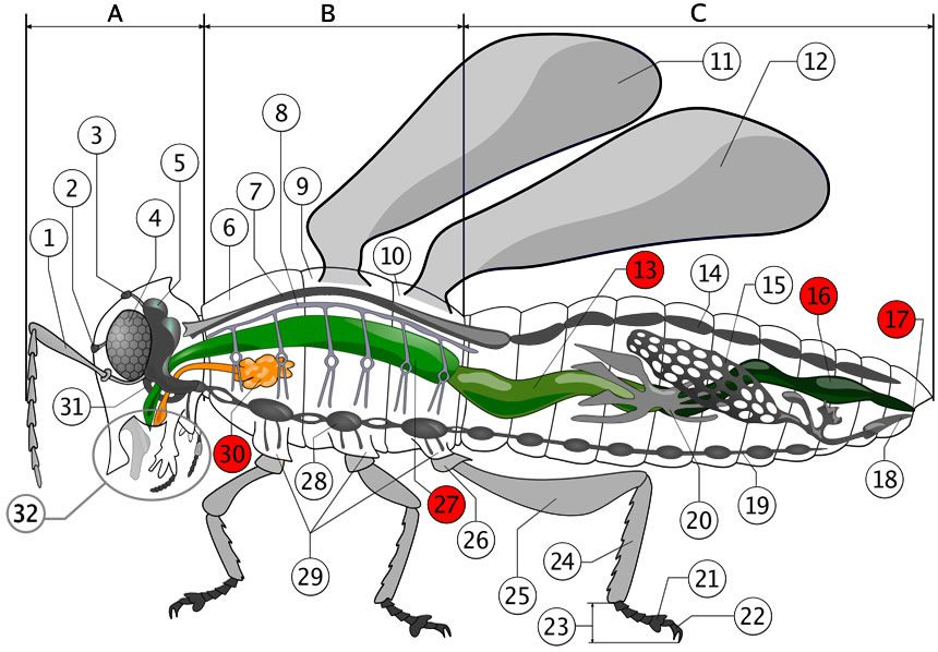 Color diagrams of insect organs and internal structures ccuart Gallery