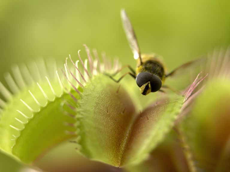 Close-up of a fly on a Venus flytrap.