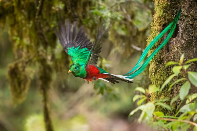 A Male Resplendent Quetzal (Pharomachrus mocinno) in Flight