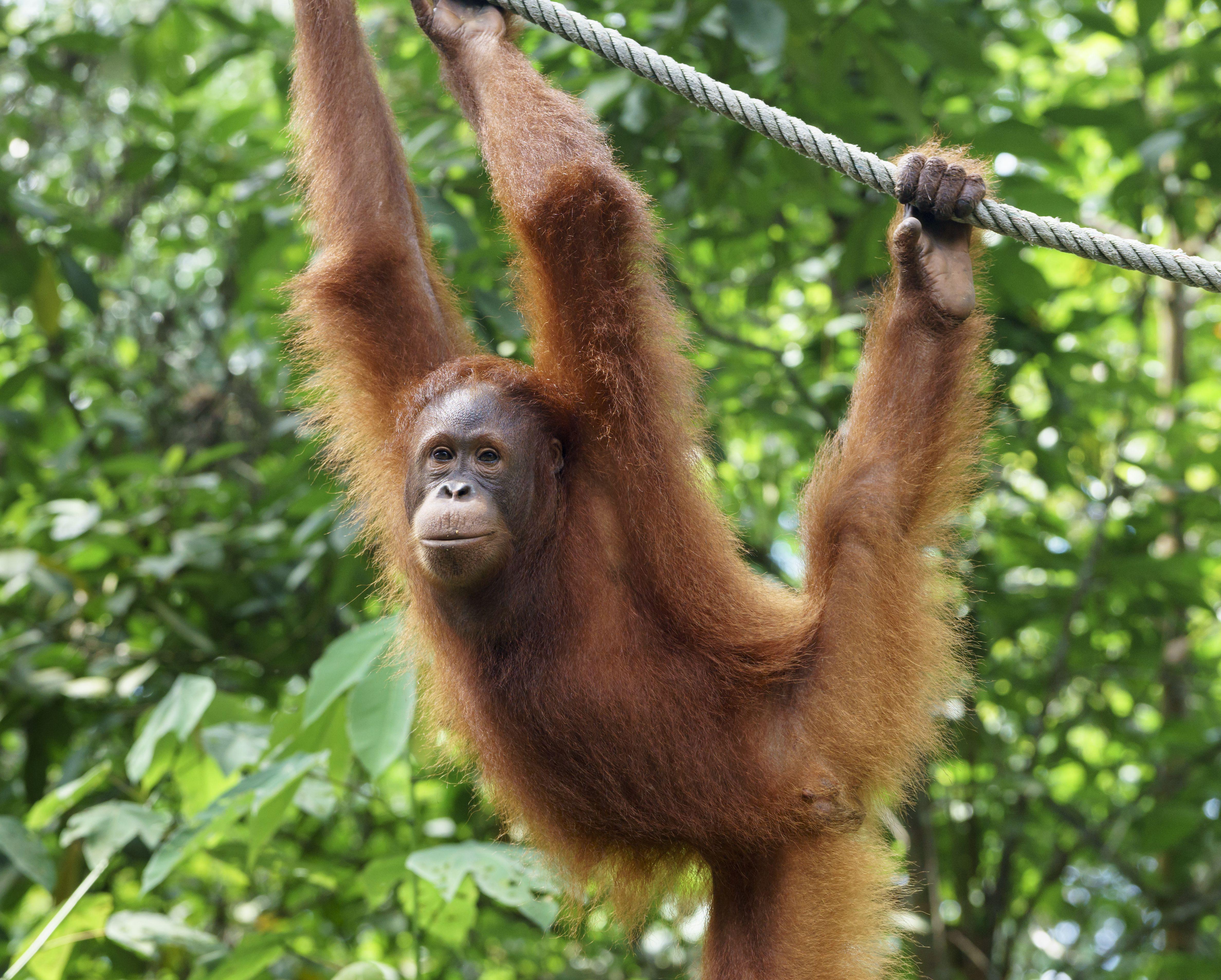 10 Facts About Orangutans