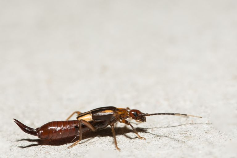 Close-Up Of Earwig