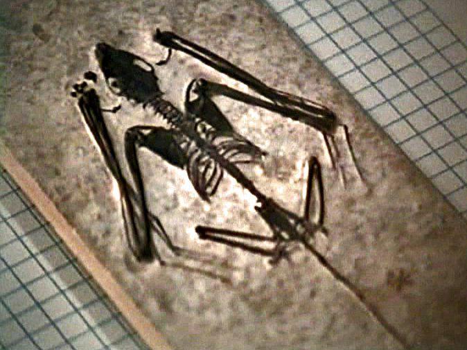 The fossil bat Icaronycteris