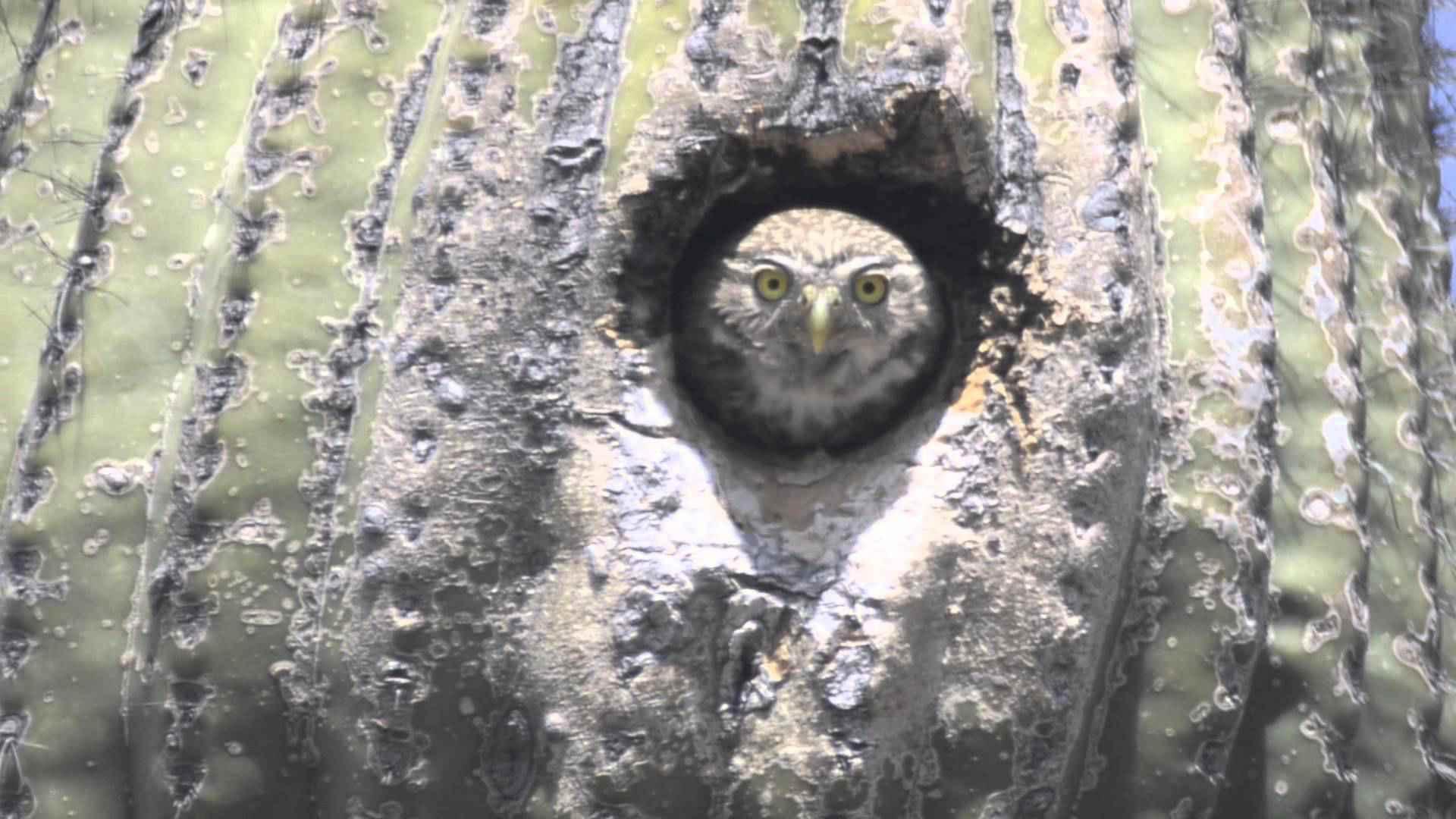 The Cactus Ferruginous Pygmy Owl