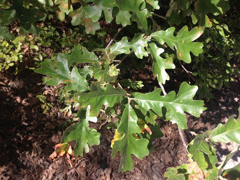 post oak leaves